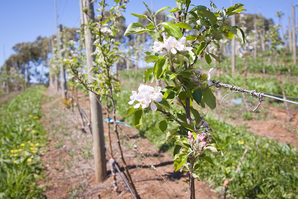lenswood-miapple-blossom-5092-sm